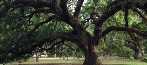 Oak Tree in Beach Park's Swann Circle Park